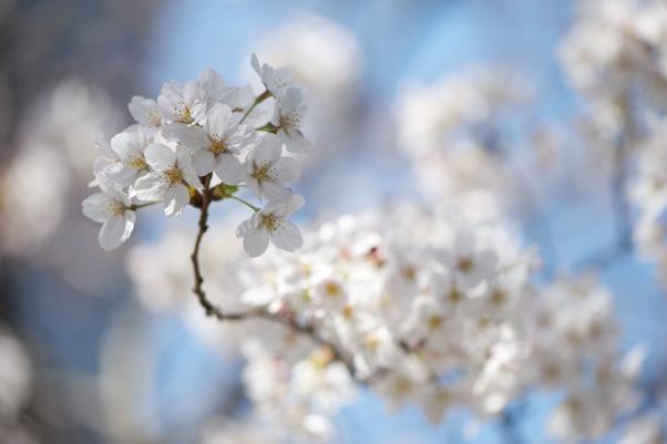日本橋川の桜1