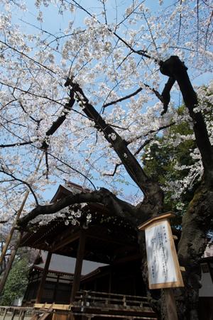 東京の標準木
