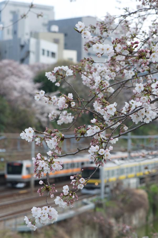 外堀の桜と中央線