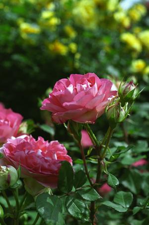 薔薇ピンク