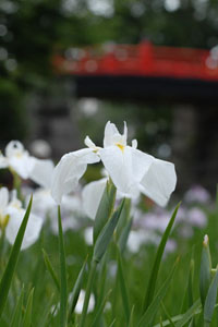 小田原城址公園に咲く花菖蒲
