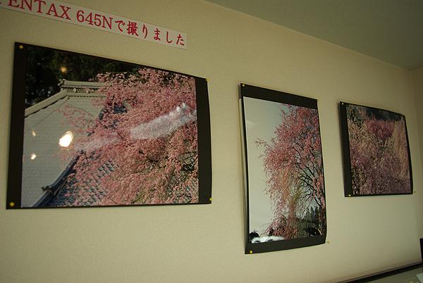 ピンク色の桜です