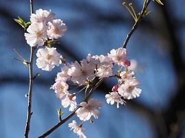 【OLYMPUS】お気に入りのレンズで根津神社・桜を撮る