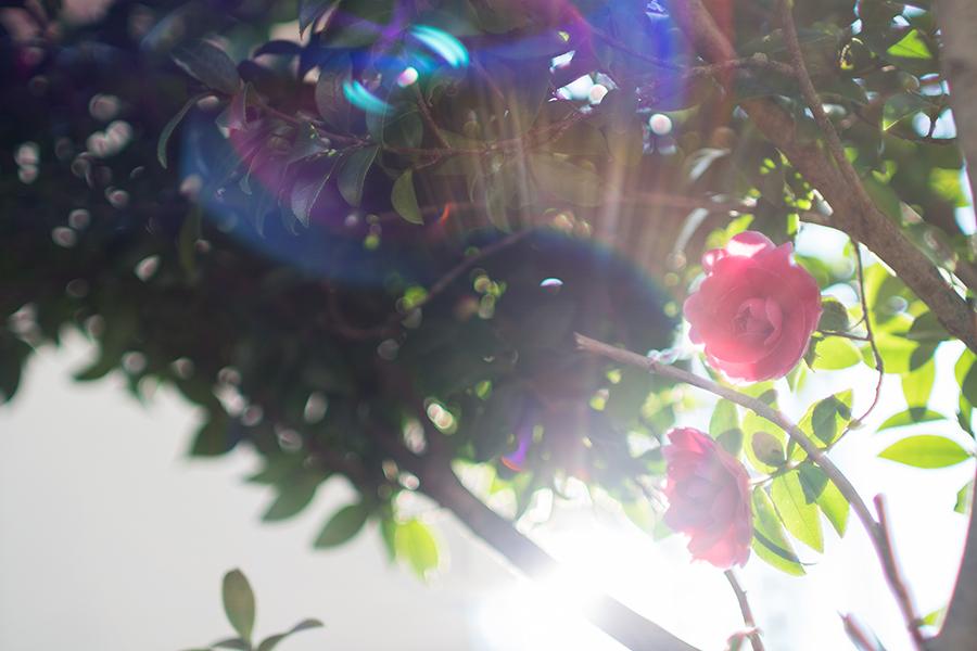 SONY α6300 + KIPON マウントアダプター ヤシカコンタックスレンズ/ソニーEボディ用 + 木下光学研究所 KISTAR 35mm F1.4