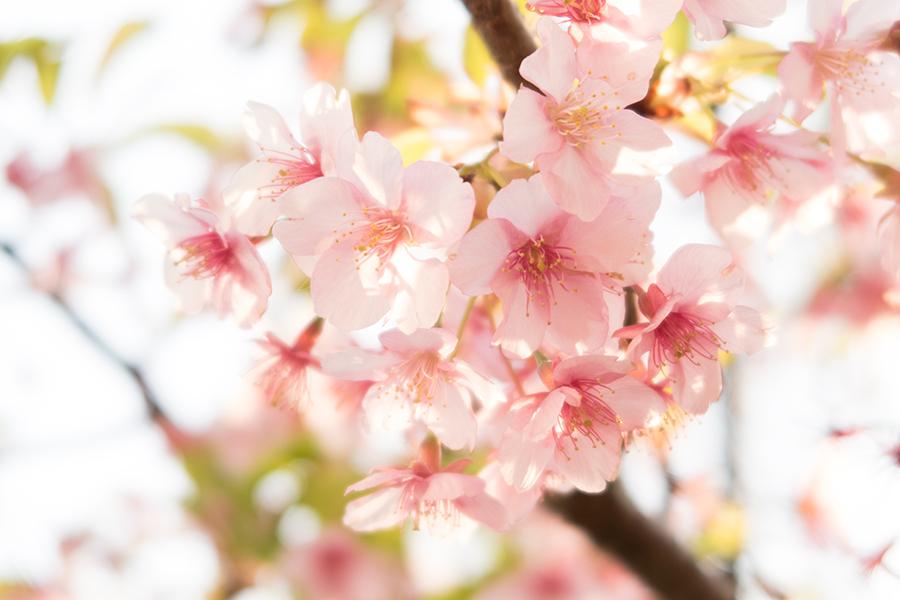 プレミアムコンデジでの桜撮影