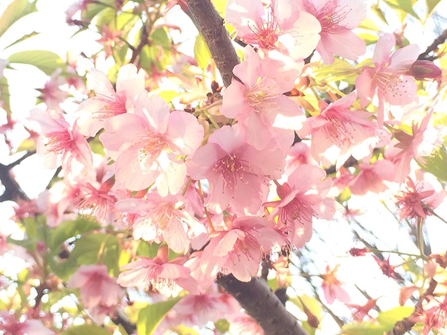 iPhoneでの桜撮影